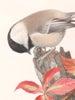 Chickadee (Parus Atricapillus)